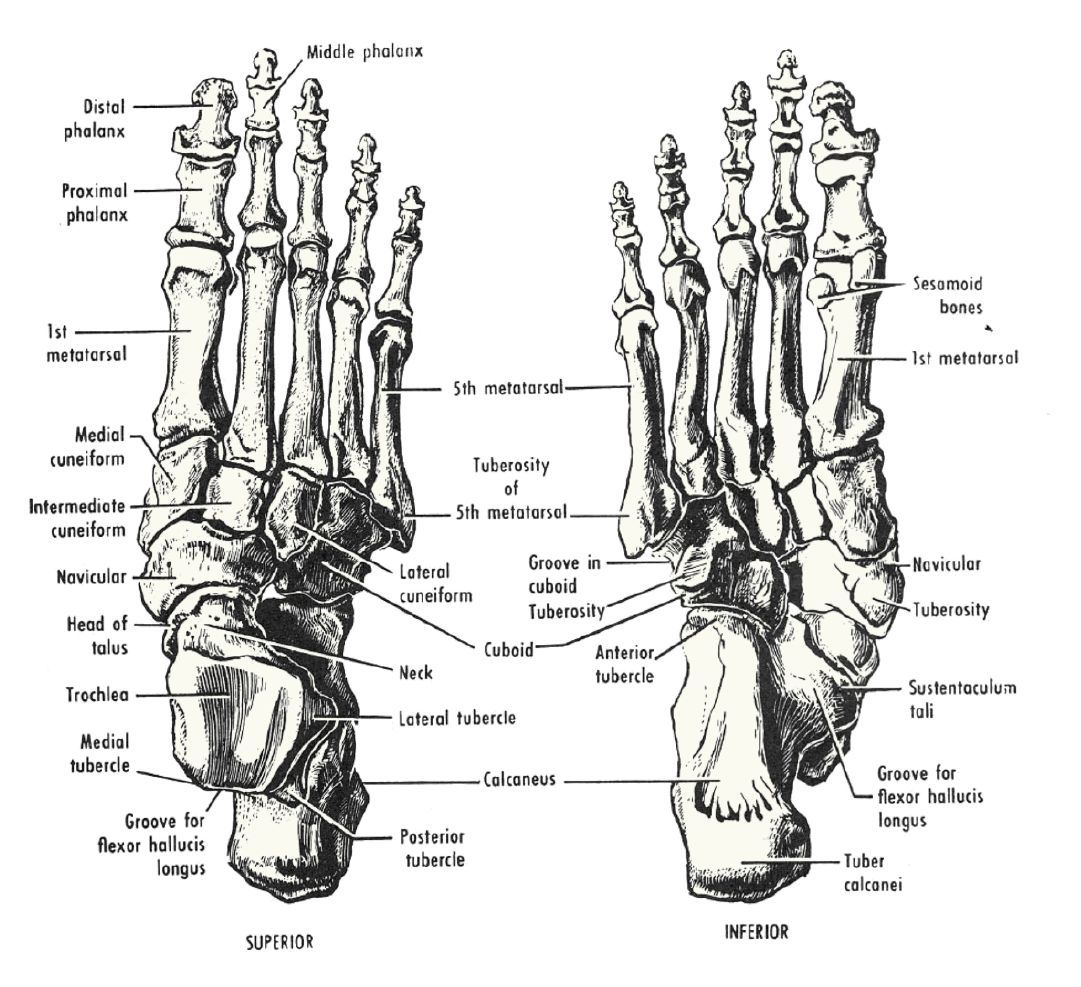 the body | Fig. 12-32 Bones of the right foot. Click for high ...
