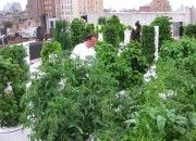 This Village restaurant grows their own, on their roof