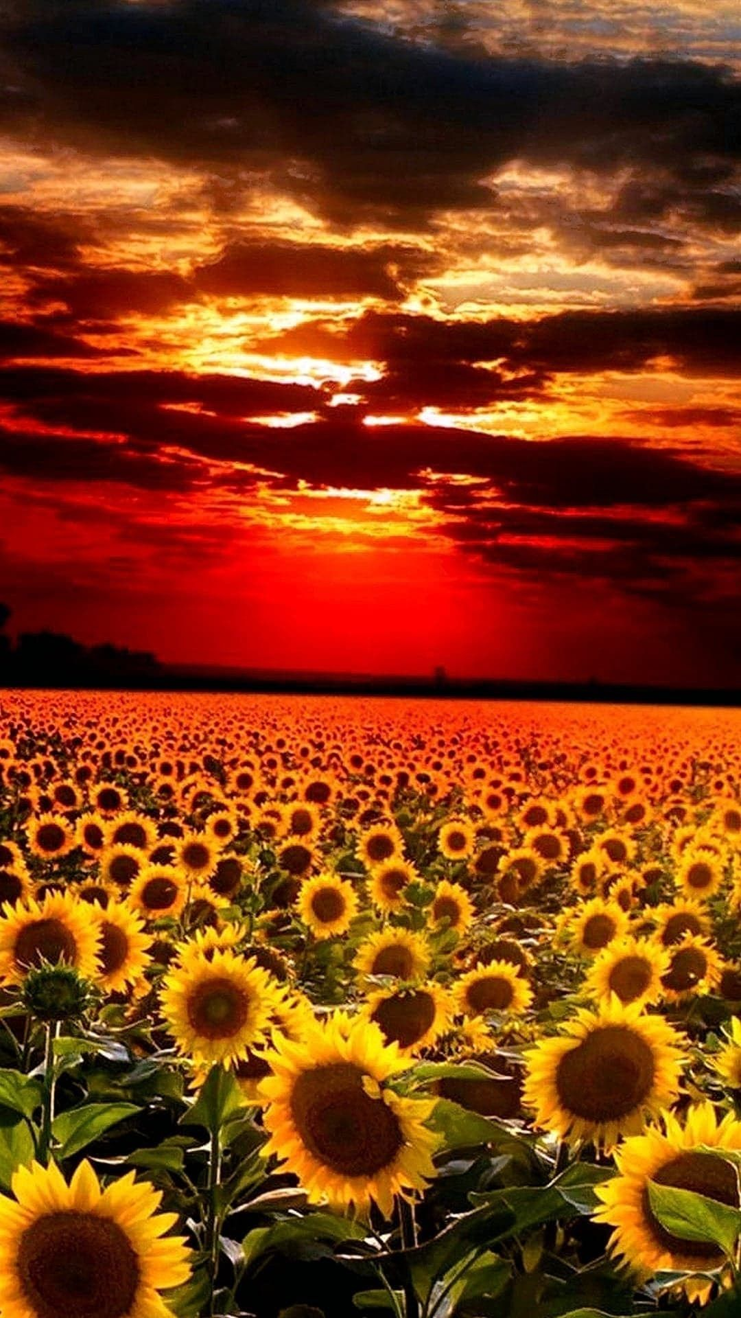 Sunflower Pictures iPhone 6 Plus Wallpaper 21589 Flowers