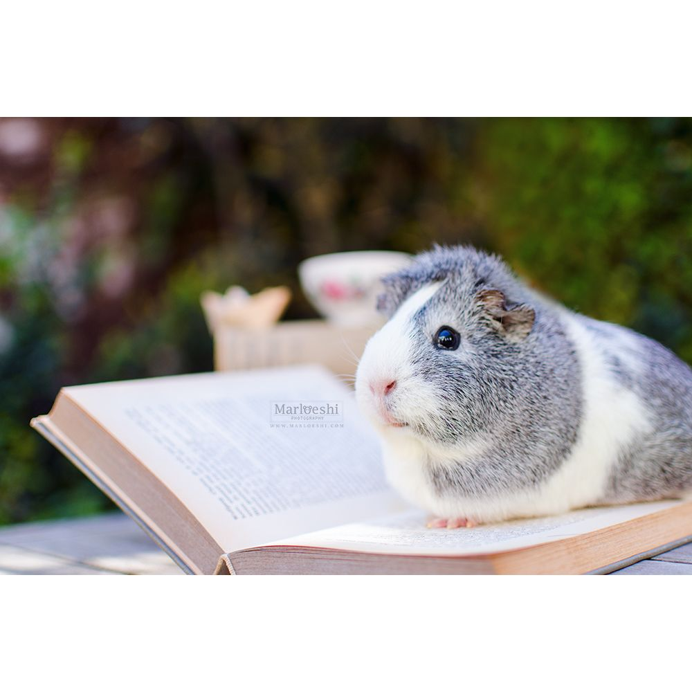 miepstheguineapig:  Just reading you know, that's what guinea pigs love to do.