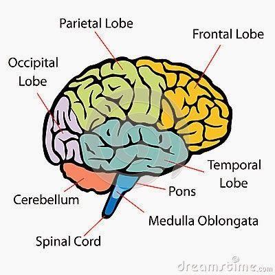 Pin by Rachel Thompson on pta | Frontal lobe, Occipital ...