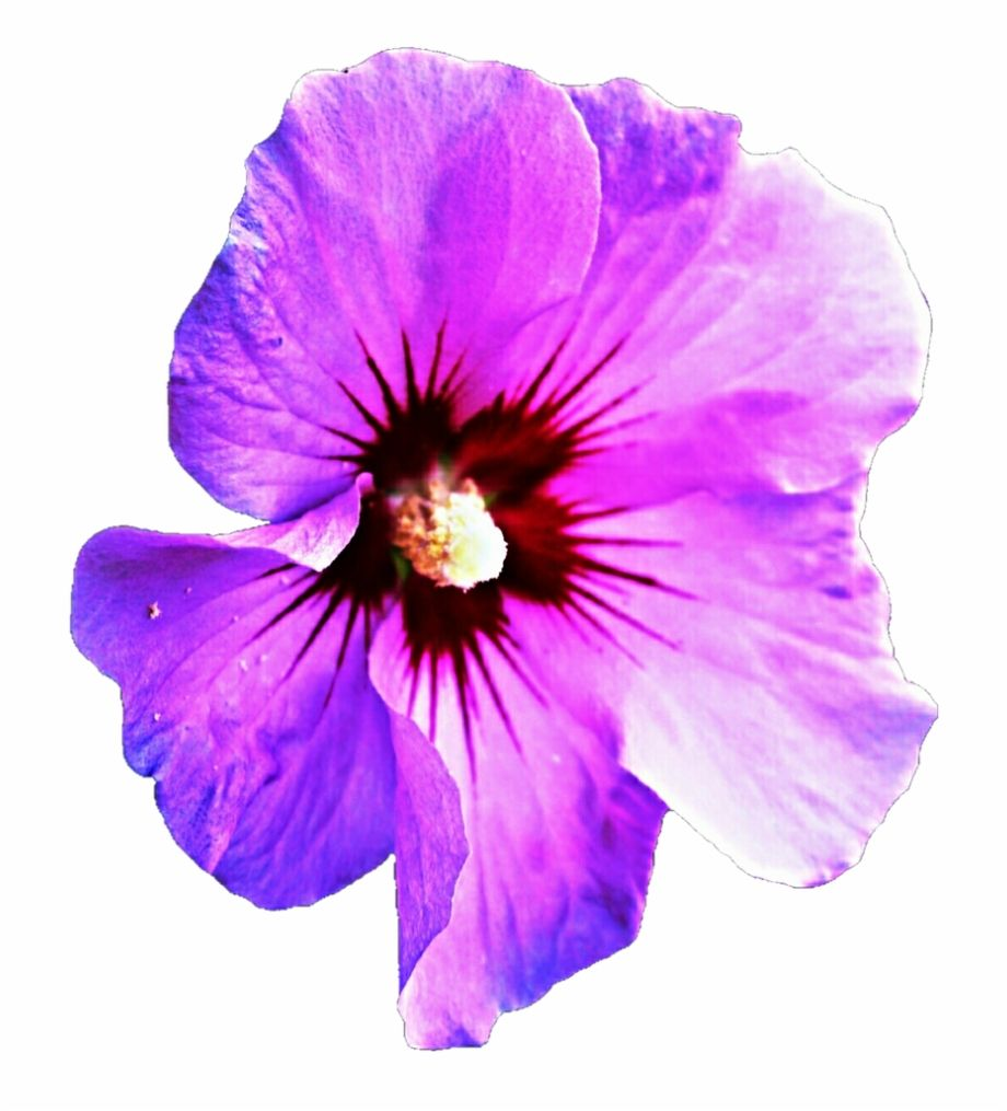Purple Hibiscus Transparent Clipart Free Download Ya Clip Art Is A Free Transparent Png Image Search A Hibiscus Clip Art Purple Hibiscus Flower Illustration