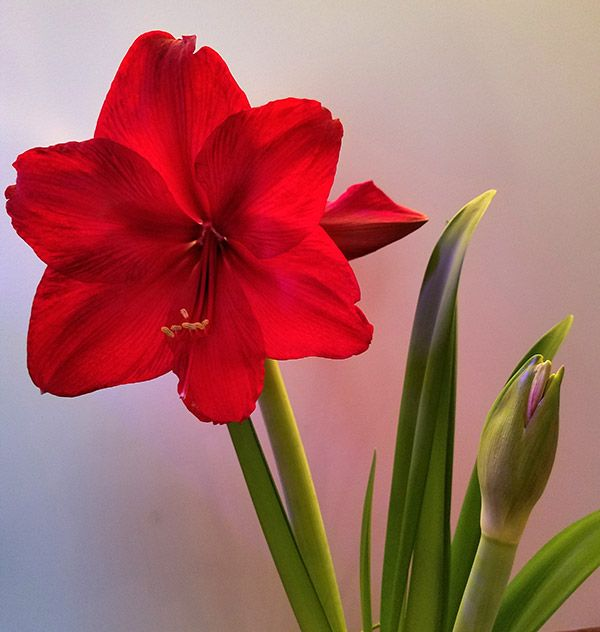 Growing And Caring For Amaryllis Bulb Amaryllis Flowers Amaryllis Plant Rare Flowers