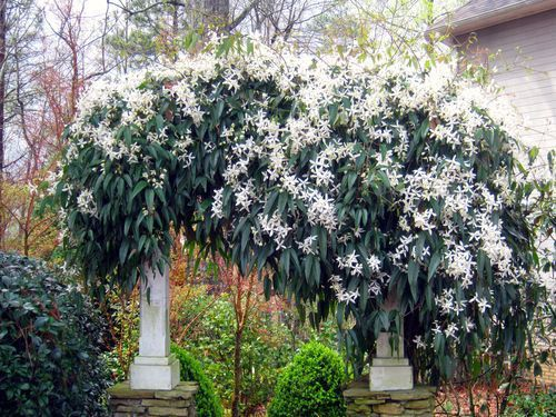 Smell My Sweet Clematis Evergreen