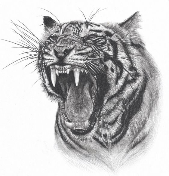 How to draw tiger face roaring step by step easy for ...