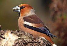 Les oiseaux de vos jardins gros bec casse noyaux for Oiseaux de nos jardins en belgique