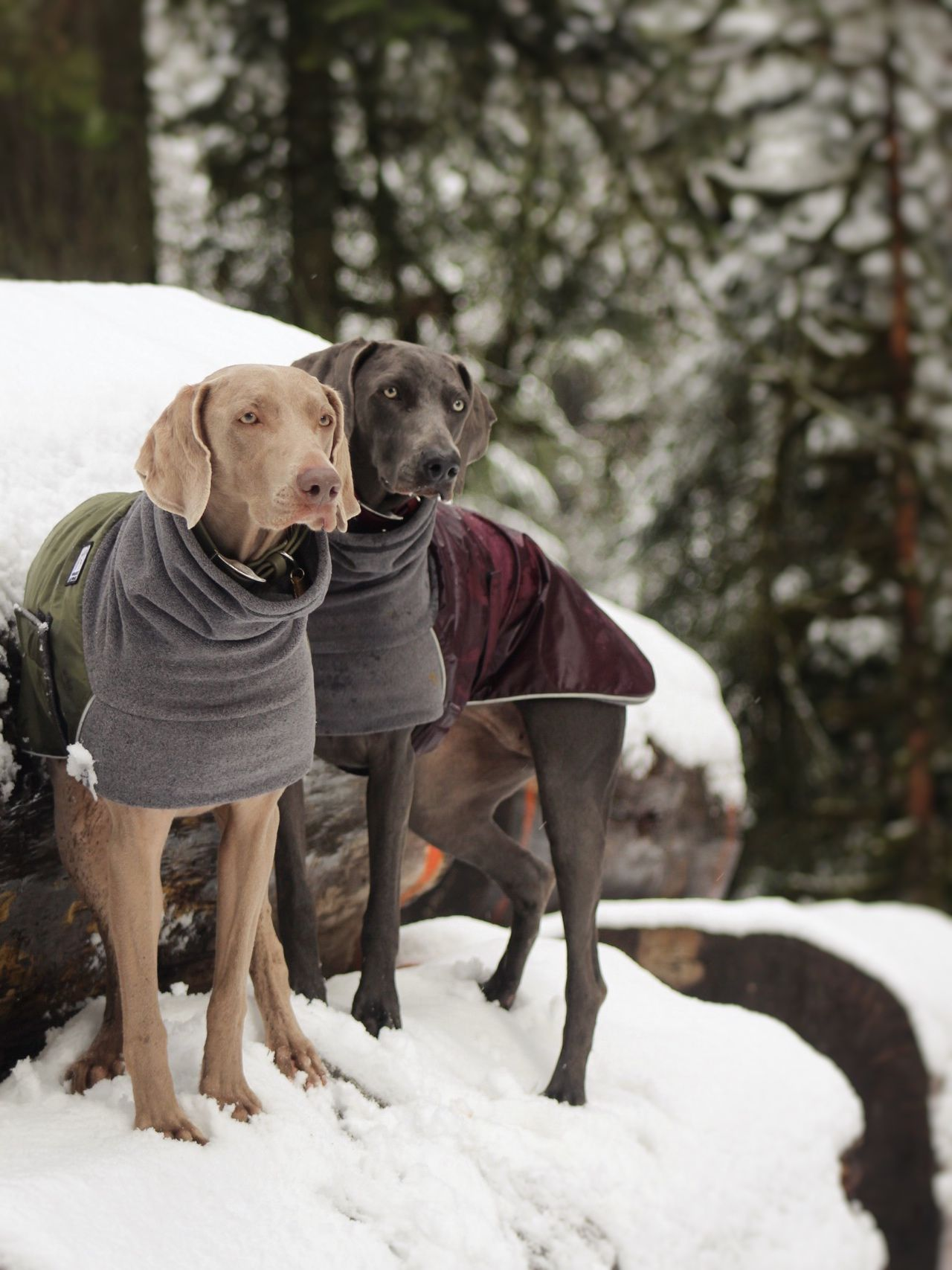 German Shorthaired Pointer Winter Coats In Olive Burgundy By