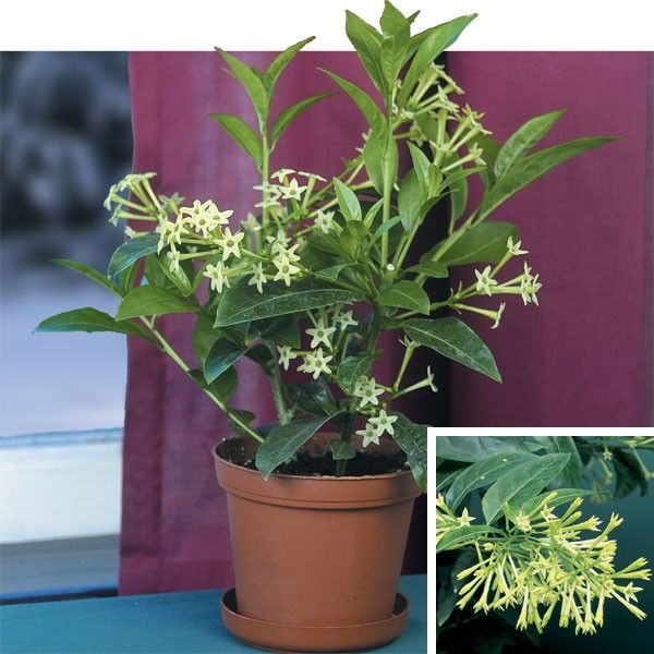 Night Blooming Jasmine (Cestrum Nocturnum) One Of The Most