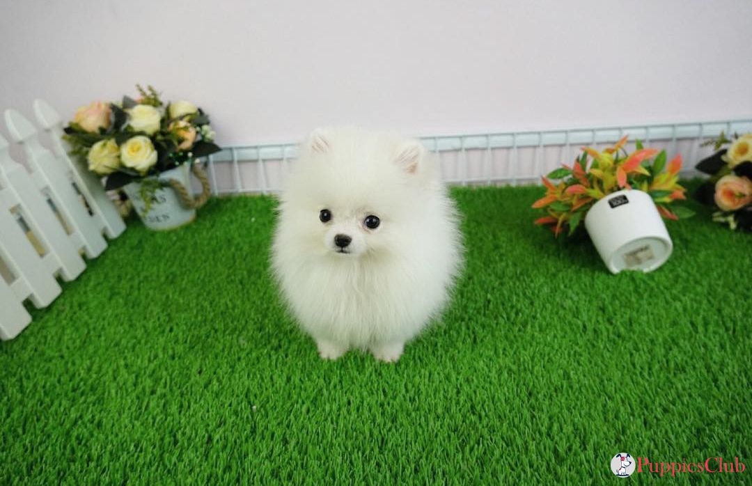 Teacup Pomeranian Puppies #teacuppomeranianpuppy