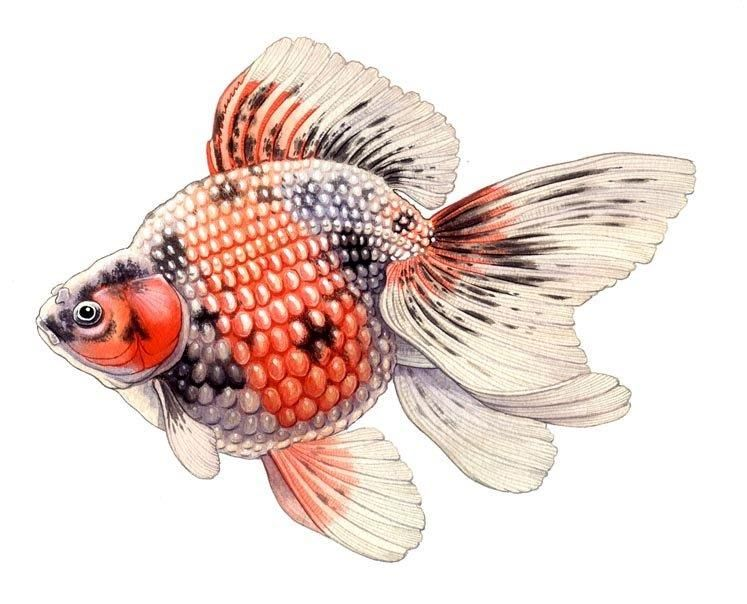 Pearlscale Origin The Pearlscales Continue To Be Very Popular One Is More Fantail In Shape One Is Much Like An Or Gold Fish Painting Goldfish Goldfish Tattoo