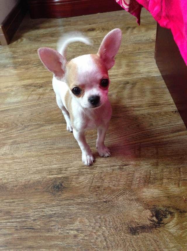 Chihuahua Omg How Adorable Cute Chihuahua Cute Baby Animals Chihuahua Puppies