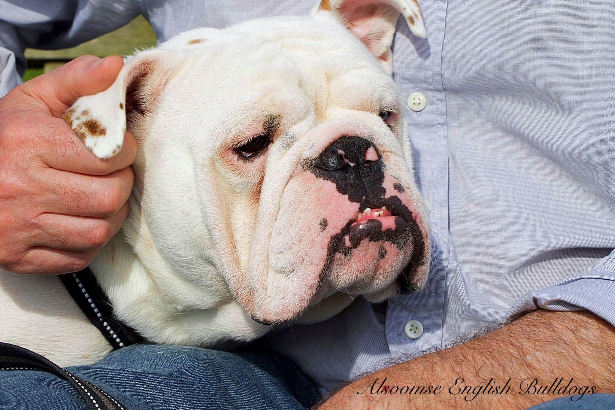 Alsoomse English Bulldogs Bulldog Puppies French Bulldog
