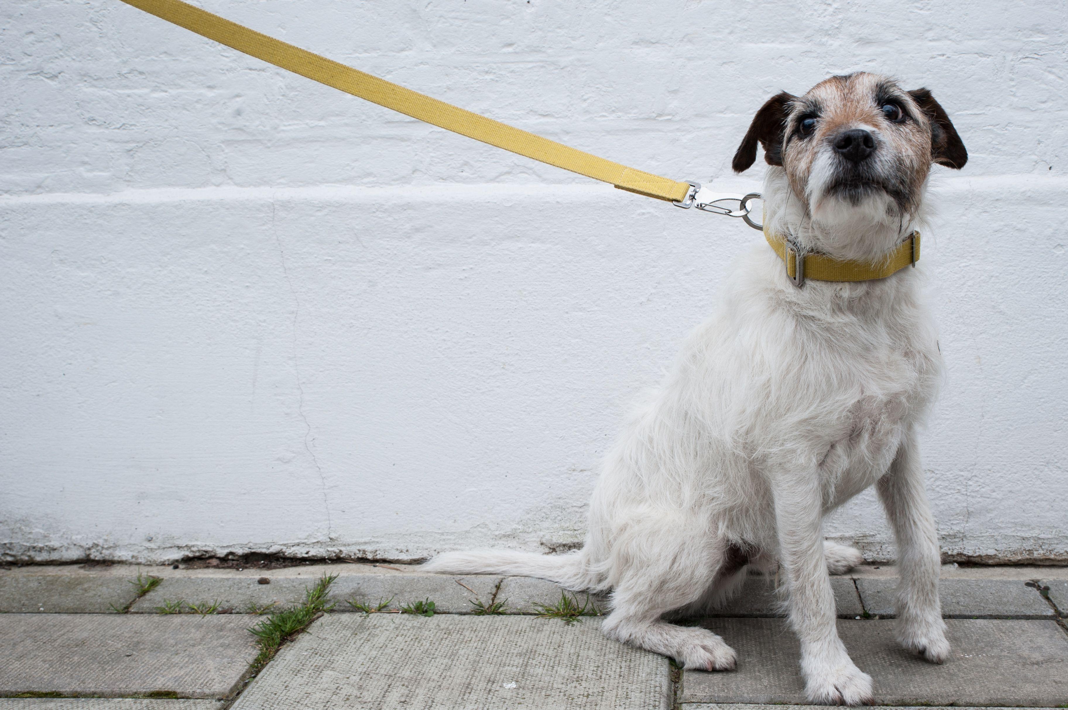 Murphy in yellow yellow dogcollar