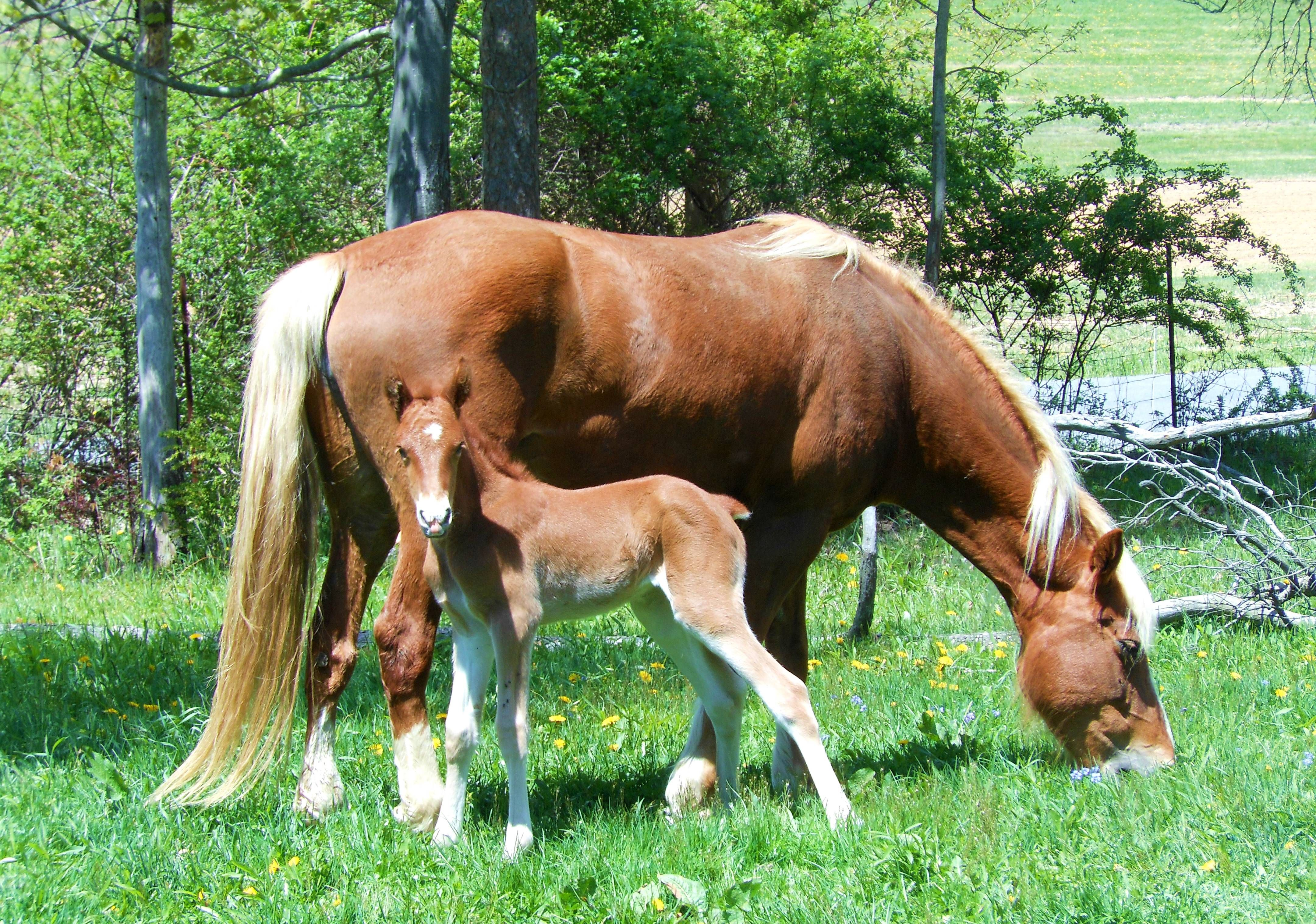 "Maple Spring ""Summer Fare"". Clean-blooded Lambert filly."
