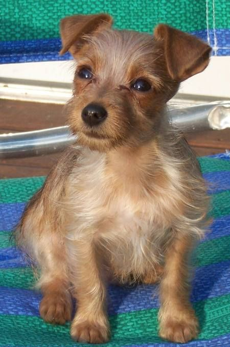 Such A Cute Yorkie Russell This Is A Clone Of My Dog Yorkie Terrier Mix Yorkie Terrier Yorkie