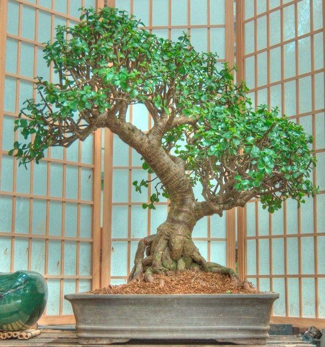 Care Guide For The Jade Bonsai Tree Crassula Jade Bonsai Bonsai Tree Bonsai Plants