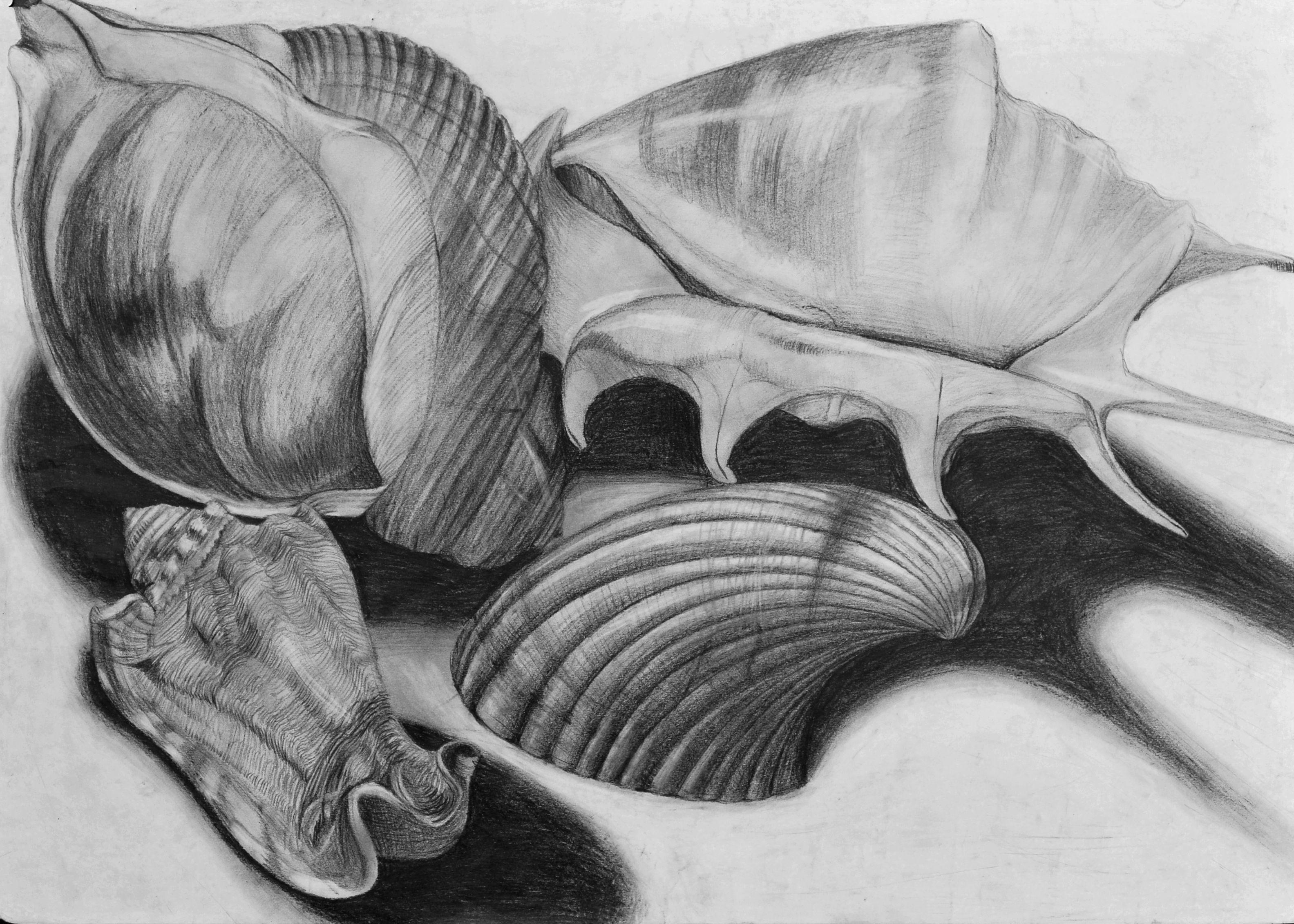 Uncategorized Shell Drawings blendspace drawing still life shells more