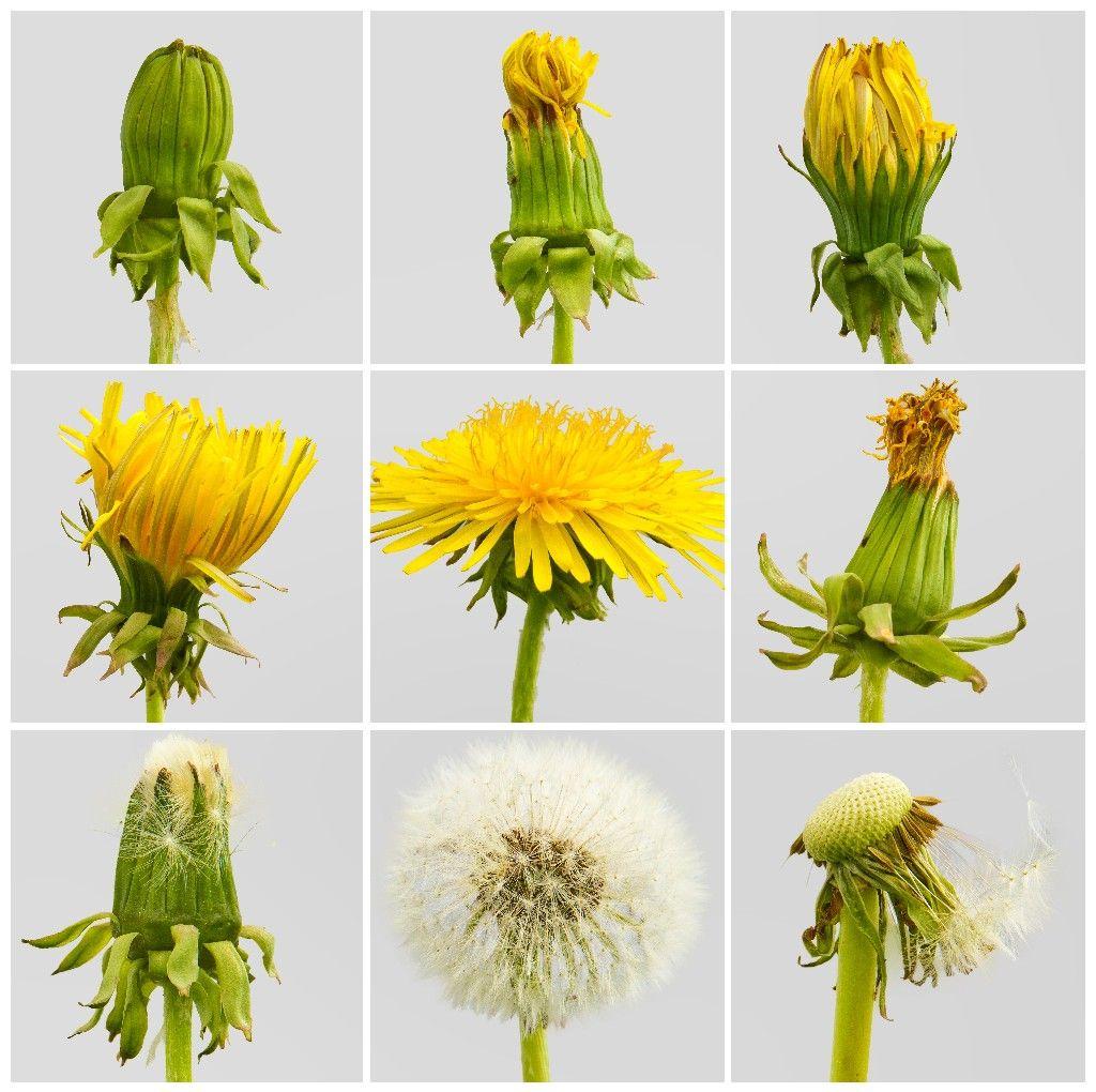 Dandelions In 2020 Dandelion Dandelion Tea Natural Dyes