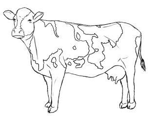 Contoh gambar sapi dan cara menggambar sapi