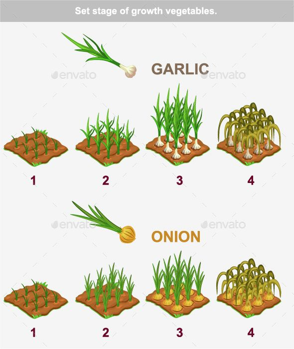 Stages Of Vegetables Growth Garlic And Onion With Images