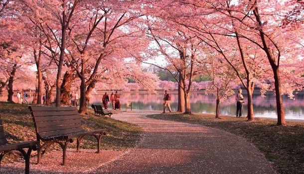 The National Cherry Blossom Festival Washington Org Pemandangan Anime Fotografi Alam Pemandangan