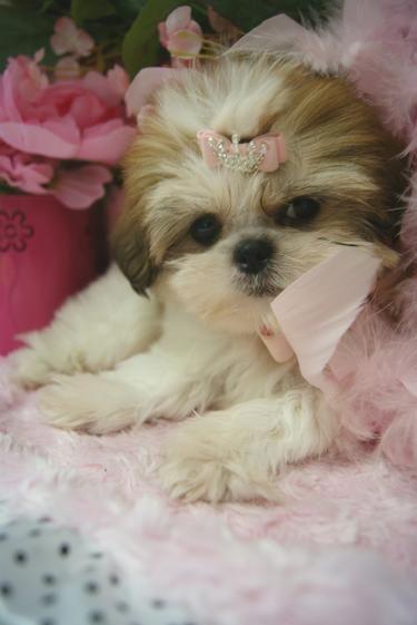 Pin By Brenda Chance On Pets Shih Tzu Puppy Shih Tzu Puppies