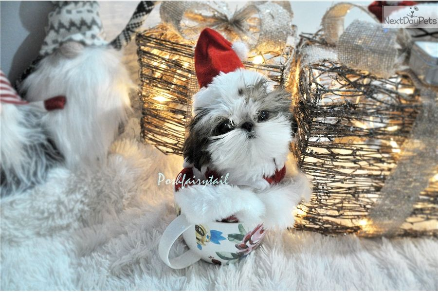 Micro Cutest Tiny Shih Tzu Princess Gummie Super Tiny Compact Body Short Legs Flat Flat Baby Doll Teacup Dogs For Sale Cute Teacup Puppies Puppies For Sale
