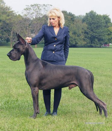 Top 20 Aom Multiple Biss Ch Sharcon S Tomahawk Great Dane