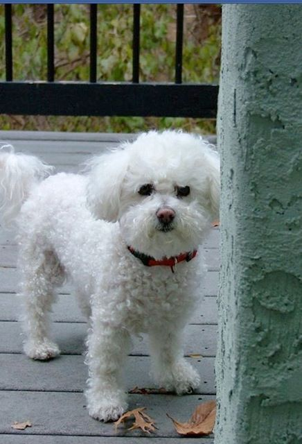 Pin By Maria Vane Tempest On I Love Bishons Bichon Frise Puppy Bichon Frise Dogs Baby Dogs
