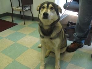 1291 Is An Adoptable Husky Dog In Portsmouth Oh This Is A Female