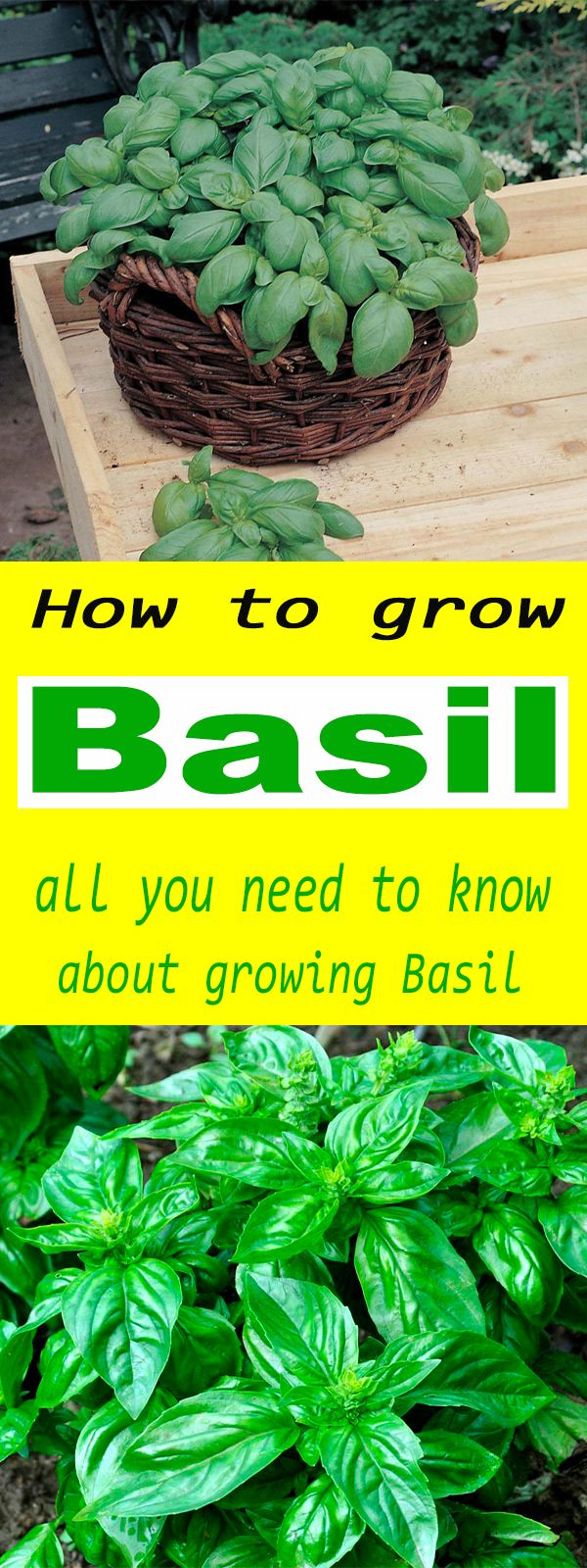 How To Grow Basil – Organic vegetable garden
