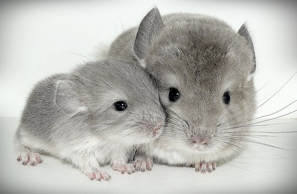 Baby Chinchilla With Mother Cute Animals Super Cute Animals Animals