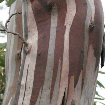 Eucalyptus coccifera | Tasmanian Snow Gum