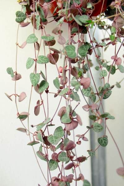 How to grow and take good care of String of Hearts plant