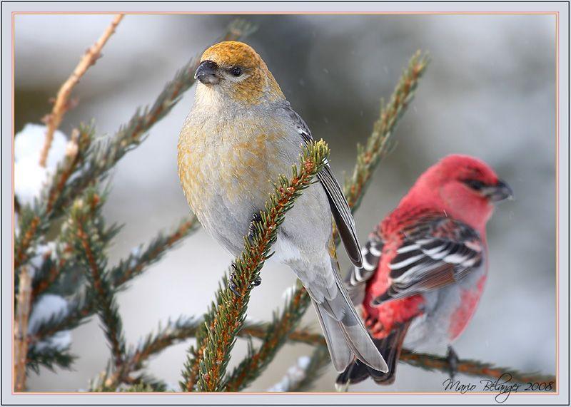 [][][] Female and Male Pine Grosbeaks. Family Fringillidae.