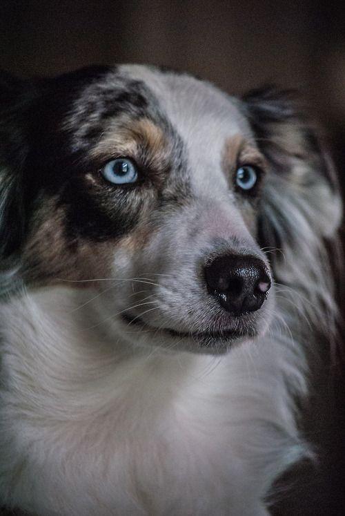 Australian Shepherd Smart Working Dog Australian Shepherd