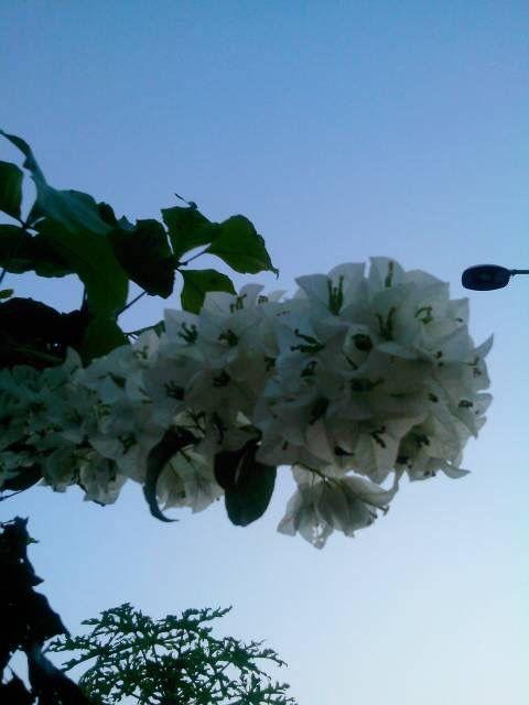 Fah flower