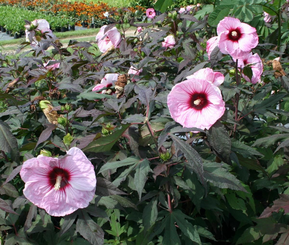 Copper king hardy hibiscus mature
