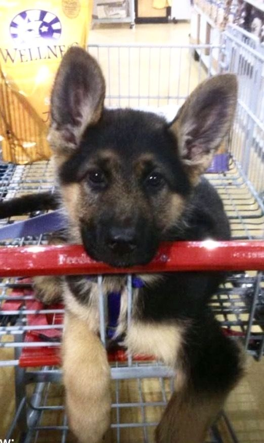 Shepherd Dog · Dog Home DecorGolden ...