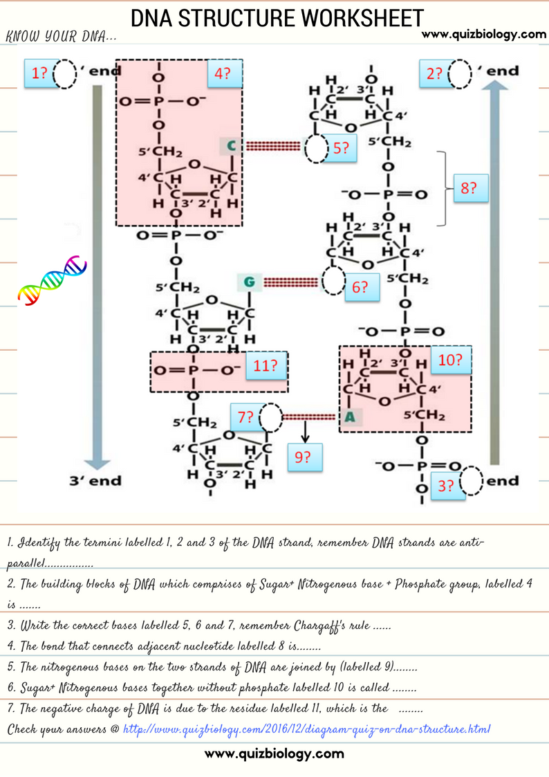DNA structure worksheet. Test how much you know about DNA ...