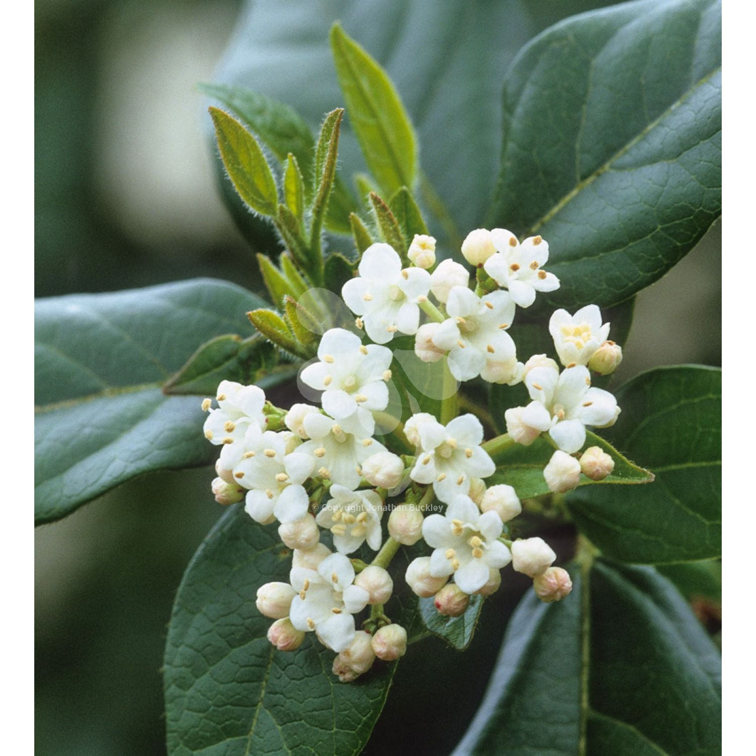 this evergreen shrub is a good choice for winter interest with