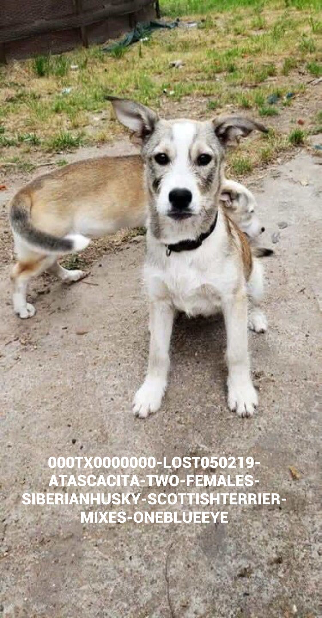 Lostdogs 5 2 19 Atascacita Tx Two Puppies Females 7 Months Old