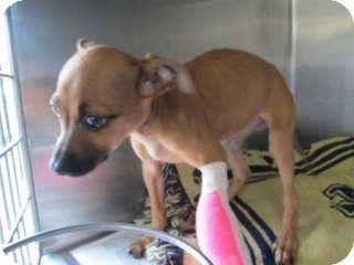 Georgia Urgent Specialneeds Id 7837 Is A Female Chihuahua Mix