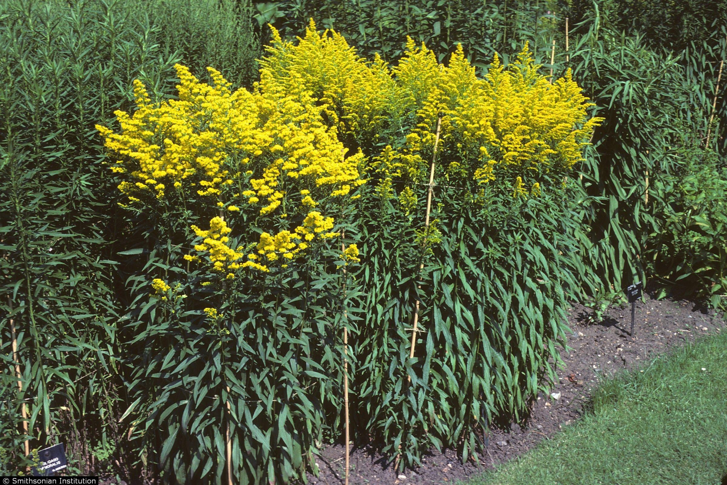 Plants Profile For Solidago Canadensis Salebrosa Rough Canada Goldenrod Plants Native Plants Canadensis