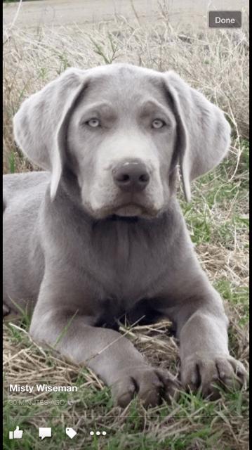 Pin von Tim1 auf Hunde Hunde, Silberne labrador welpen
