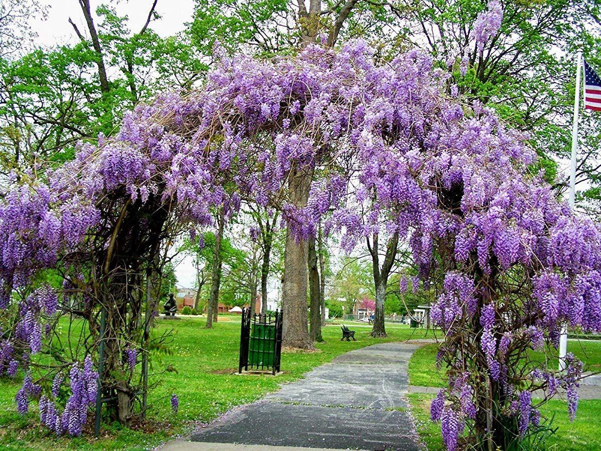 Amethyst Falls Wisteria Vine Live Plants Wisteria Pergola Wisteria Arbor