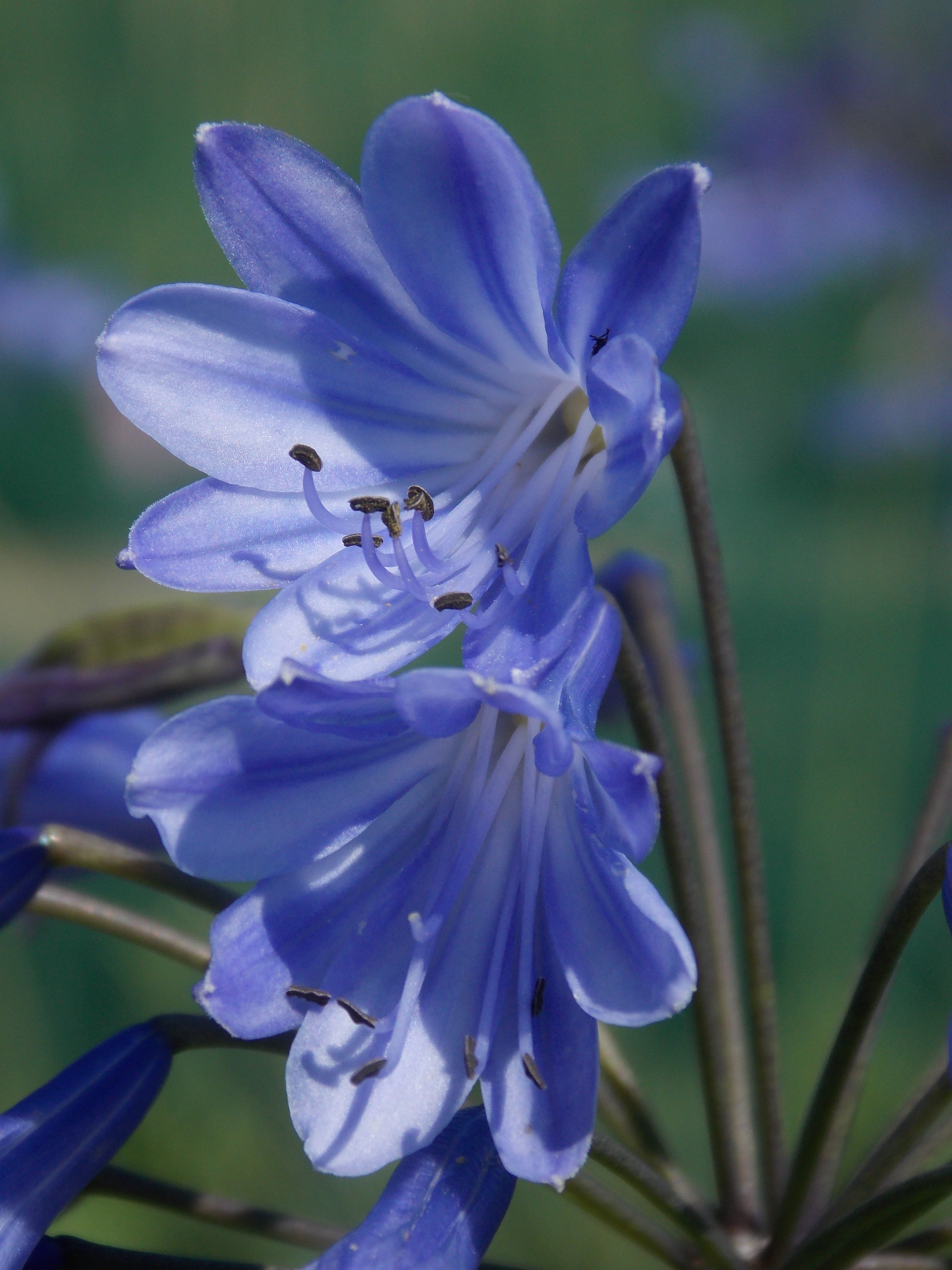 Agapanthus headbourne hybrids blue lily of the nile flower colour agapanthus headbourne hybrids blue lily of the nile flower colour shades of blue other features excellent cut flowers the flowers are followed by izmirmasajfo