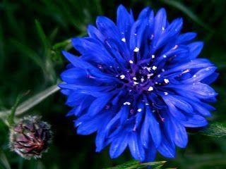 活到老 学到老 Name Of Flowers And Their Meanings B Bachelor Button Flowers Flowers Button Flowers