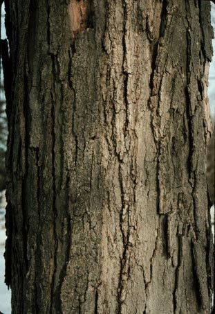 Tap My Trees Sugar Maple Tree Maple Syrup Supplies Tree Bark Texture Maple Tree Bark Tree