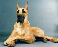 Pennsylvania State Dog | state symbols state animals mammals pennsylvania state dog great dane